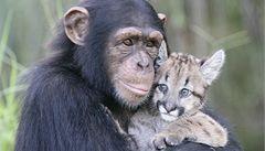 Šimpanzice se ujala osiřelé malé pumy. Stará se o ni jak o vlastní